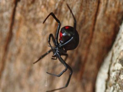 halálos pók
