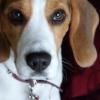 zeca-beagle-1430682-m