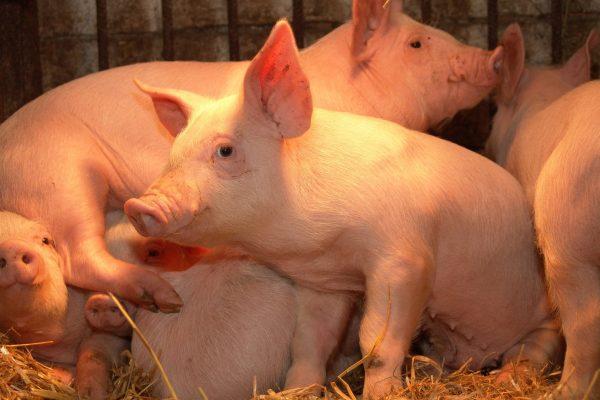 pig-1512333